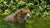 tigris : Slow-motion of jaguar playing and swimming in pond Stock mozgókép