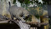 tigresa : Slow-motion of A jaguar resting in the forrest