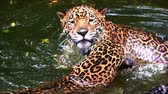 пантеры : Slow-motion of Two jaguar playing and swimming in pond