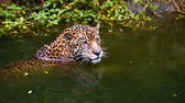 пантеры : Slow-motion of jaguar playing and swimming in pond Стоковые видеозаписи