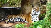 虎猫 : The Bengal tiger resting in the forrest 動画素材