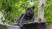 пантеры : black panther resting in the forrest