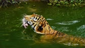 tigre : Bengal tiger eating meat and swimming in pond Archivo de Video