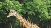 giraffe : Close-up of giraffe resting in nature Stock Footage