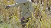 hoz : NAKHON RATCHASIMA, THAILAND - DECEMBER 31, Unidentified farmer woman using sickle to harvesting rice in field