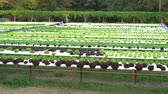 hidro : panning shot of green lettuce hydroponics vegetable farming Vídeos