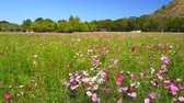 guloseima : beautiful cosmos flower with wind blow in field Stock Footage