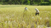 hántolatlan rizs : NAKHON RATCHASIMA, THAILAND - DECEMBER 31, Unidentified farmer woman using sickle to harvesting rice in field. Stock mozgókép