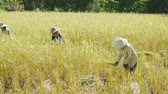 hoz : NAKHON RATCHASIMA, THAILAND - DECEMBER 31, Unidentified farmer woman using sickle to harvesting rice in field. Archivo de Video