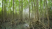 ウッドランド : panning shot of mangrove tree forests with green leaves in Tung Prong Thong, Rayong, Thailand