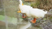 donald duck : white duck resting near the pond