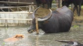 thai culture : water buffalo resting in pond Stock Footage