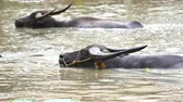 bivaly : panning shot of water buffalo is playing and swimming in the pond