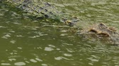 krokodyl : crocodile swimming in the water