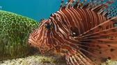사자 : Lionfish (Pterois volitans) in water