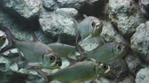indo pacific : Indo-Pacific tarpon fish in water
