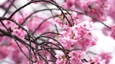 blühender baum : beautiful Sakura, Cherry Blossom flower in spring season
