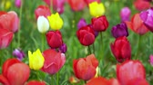 gele tulp : colorful tulips bloom in the garden Stockvideo