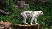 пантеры : white bengal tiger walking in the forest