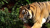 tigris : close up of bengal tiger walking in the forest