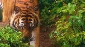 пантеры : close up of bengal tiger walking in the forest