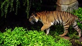 ベンガル : slow-motion of bengal tiger walking in the forest