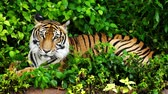 tigresa : bengal tiger resting in the forest