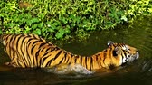 tigresa : slow-motion of Bengal tiger (Panthera tigris tigris) was swimming in pond