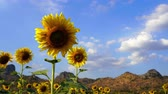 vento : sunflower at Kao Jeen Lae mountain in Lopburi, Thailand