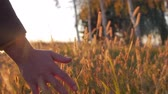 hántolatlan rizs : Female Farmer Hand Touching Touching Grass, Wheat, Corn Agriculture on the Field Against a Beautiful Sunset. Steadicam Shot. Farming, Autumn Concept. Slow Motion
