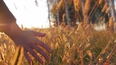 economia rural : Female Farmer Hand Touching Touching Grass, Wheat, Corn Agriculture on the Field Against a Beautiful Sunset. Steadicam Shot. Farming, Autumn Concept. Slow Motion