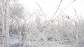 страна чудес : Snow-covered trees, dry reeds in the snow, Bright sunlight falling with snow, snowflakes falling from the trees.