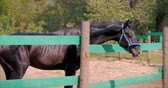 копытное : Young Stallion, Elegant Thoroughbred Horse. Dark Drown horse running in the aviary. Animal Care. Concept Summer of Horses and People.