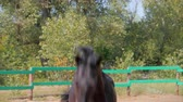 животные в дикой природе : Young Stallion, Elegant Thoroughbred. Dark brown horse after castration, running around the aviary. Animal Care. Concept Summer of Horses and People.