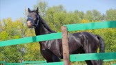 животные в дикой природе : Young Stallion, Elegant Thoroughbred Horse. Dark Drown horse running in the aviary. Animal Care. Concept Summer of Horses and People.