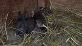 zając : Newborn rabbits in the nest.