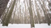 ülke : Camera moves among snow-covered trees during snowfall in forest at winter day. Stok Video