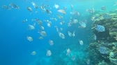 common : school of Indo-Pacific sergeant swims over coral reef, Red sea, Egypt Stock Footage