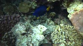 deniz yaşamı : Picture of colorful fishes yellowtail tang fish Zebrasoma xanthurum.