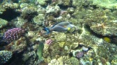 egypt : Clip of a sohal surgeonfish or sohal tang, Acanthurus sohal Stock Footage