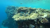 a major : school of Indo-Pacific sergeant swims over coral reef, Red sea, Egypt Stock Footage