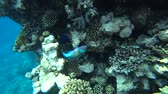 pupa : A bright parrot fish sails among the corals of the Red Sea.