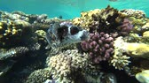 diver : Diving in the Red sea. Posing the puffer fish over colorful coral reef. Stock Footage