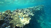 group of animal : school of Indo-Pacific sergeant swims over coral reef, Red sea, Egypt Stock Footage