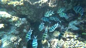 grup : school of Indo-Pacific sergeant swims over coral reef, Red sea, Egypt Stok Video