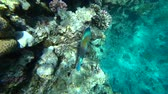 diver : A bright parrot fish sails among the corals of the Red Sea.