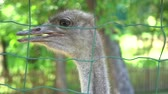 struś : Close Up Shot of ostriches at a ostrich farm. Wideo
