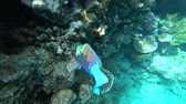 A bright parrot fish sails among the corals of the Red Sea.
