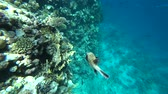 Diving in the Red sea. Posing the puffer fish over colorful coral reef. Stok Video