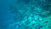 group of animal : School of Yellowfin goatfish Mulloides vanicolensis
